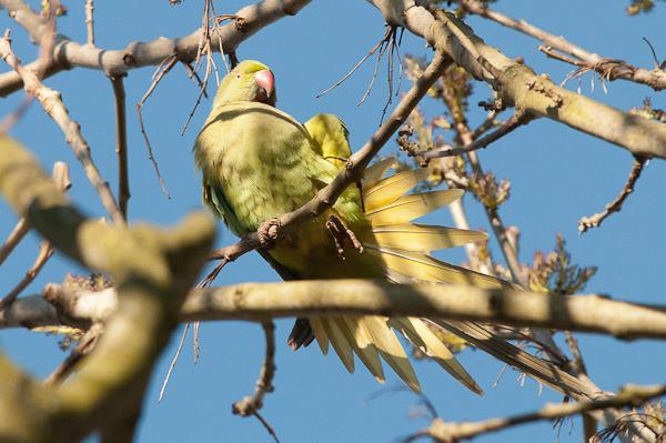 chorlton-parakeet