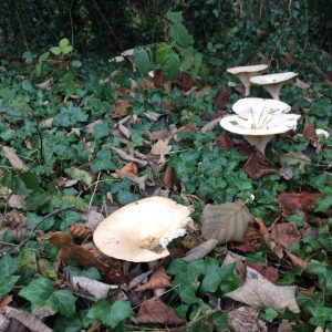 toadstools-br